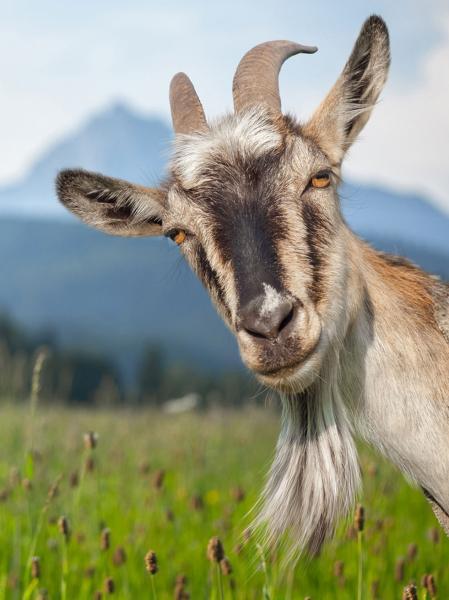 Name:  Goat.jpg Views: 46 Size:  36.5 KB