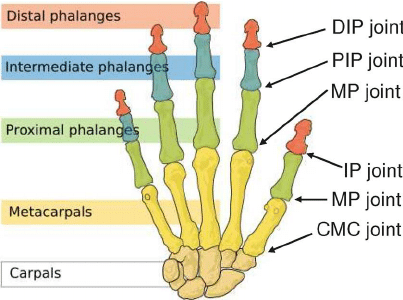 Name:  Joints-of-the-thumb-and-the-index-finger-This-picture-is-adapted-from.png Views: 268 Size:  53.0 KB