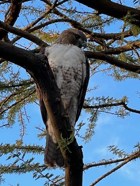 Name:  Hawk - 1.jpg Views: 259 Size:  71.8 KB