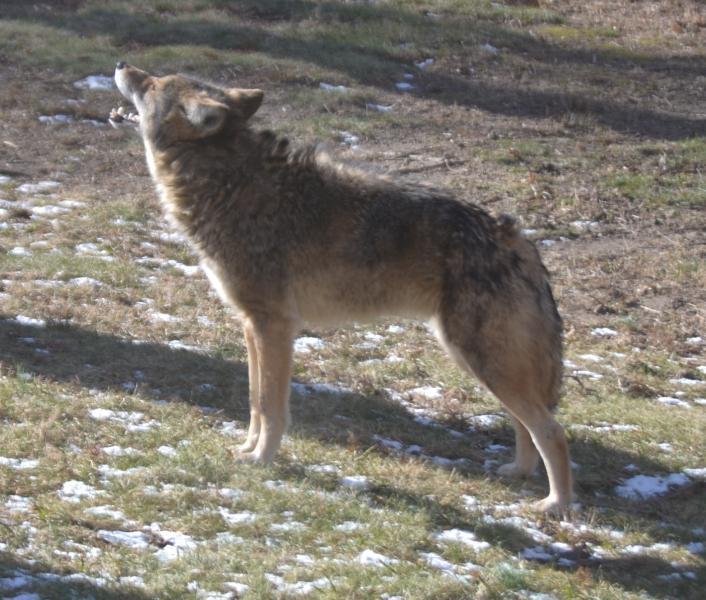 Name:  Coyote.jpg Views: 178 Size:  78.1 KB