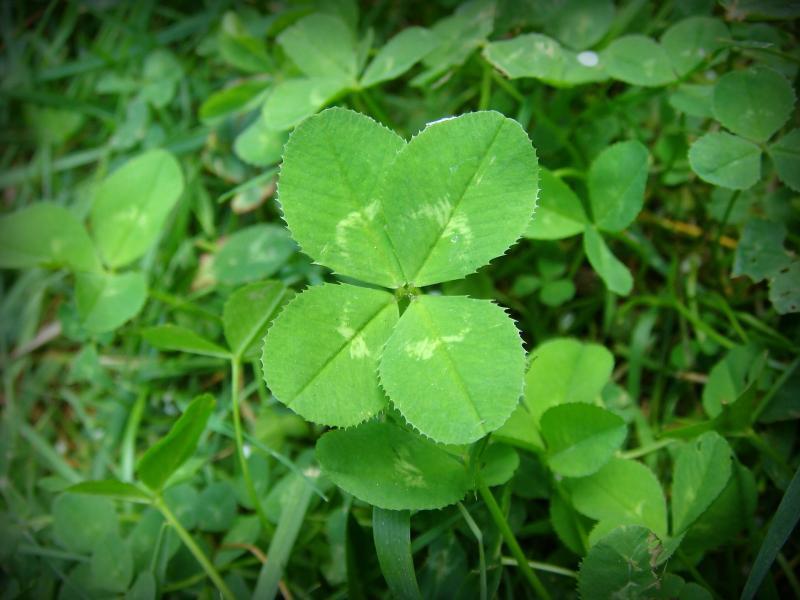 Name:  4-leaf_clover.jpg Views: 343 Size:  56.2 KB
